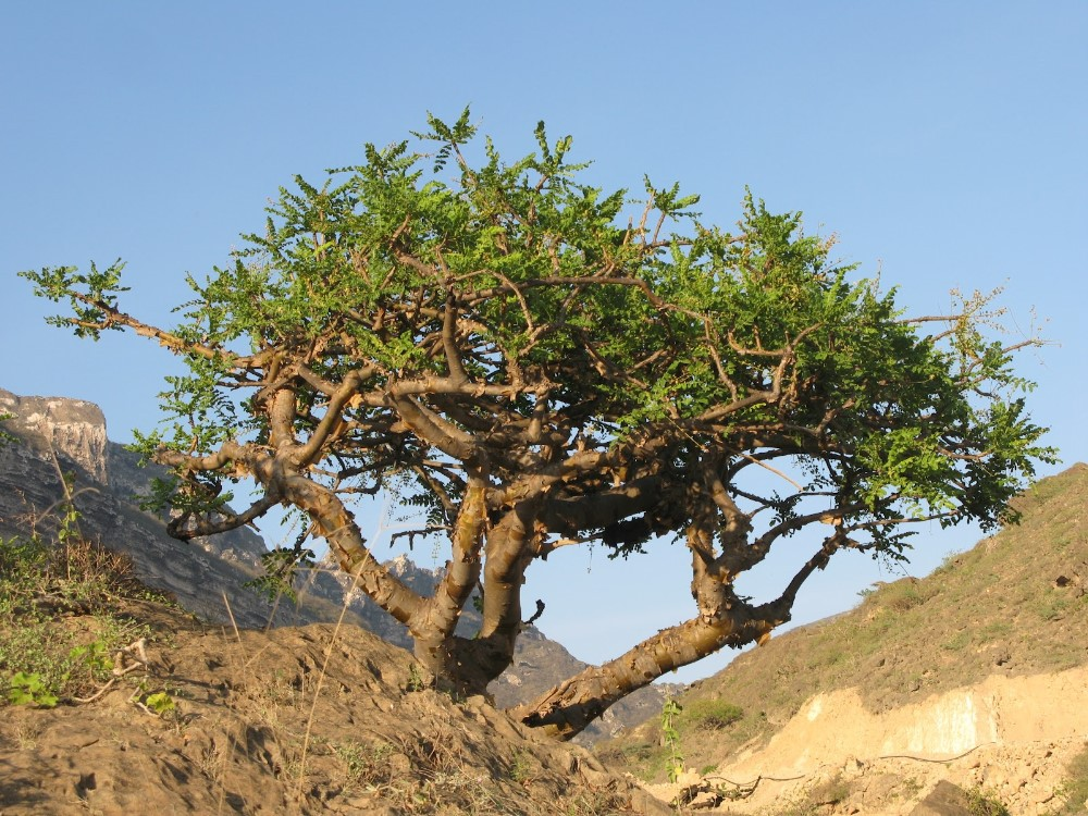 Pokok Boswellia