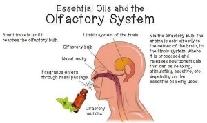 Essential-Oils-and-he-Olfactory-System-